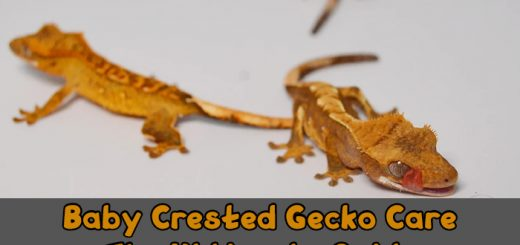 Baby Crested Gecko Care