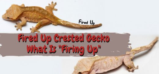 Fired Up Crested Gecko