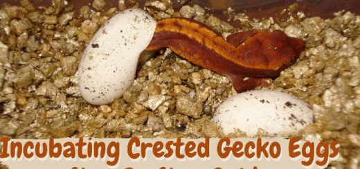 Incubating Crested Gecko Eggs