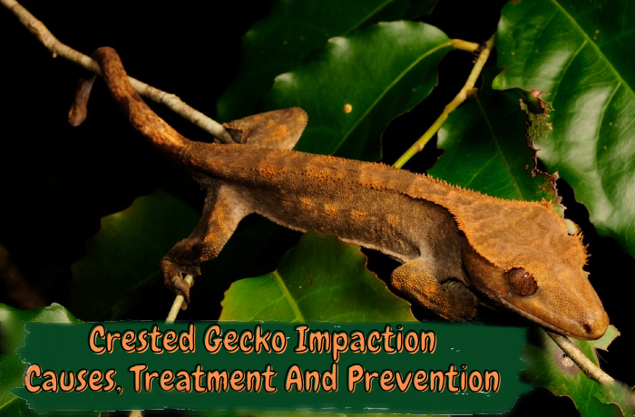 Crested Gecko Impaction