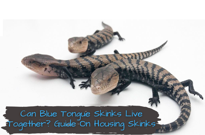 Can Blue Tongue Skinks Live Together