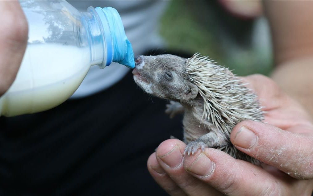 How To Look After A Baby Hedgehog